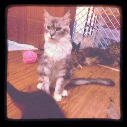 温柔的巨人—缅因猫。非常适合陪伴家人的猫种、性格温顺~~~
