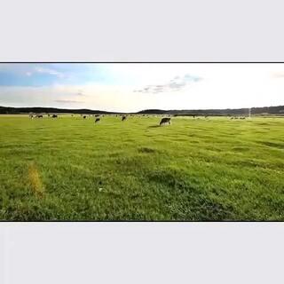 #60秒美拍##天空#蓝天白云草原牛群🐂,草原的确是一个辽阔无比、景色迷人、令人向往的地方。会让人着迷留恋👉@Mr、Qu #呼伦贝尔草原#
