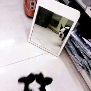 #宠物搞笑#照镜子被自己吓到😂😂😂