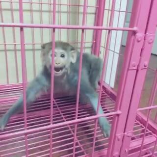 悟空不认识妈妈了!这是为什么呢?看视频😂#宠物##家有猫狗猴系列剧##喵喵儿##悟空#