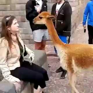 好任性的草泥马❕😂#动物##搞笑#