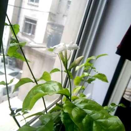 2015年的第一朵茉莉花。#花#@PurpleYue。 @奶茶🐹遇上布丁。 @🐰球球麻