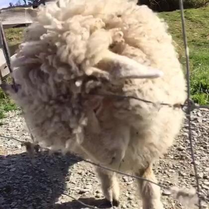 我唱了一首歌《羊羊挠痒痒》,祝大家五一假期最后一天晚上快乐。