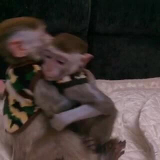 为了争夺美猴王位置 俩🐒干架了、干的很激烈啊!😂#宠物##猴子干架# @喵喵儿的店 喜欢照片的朋友关注👉 #新浪微博 :喵汪悟空#