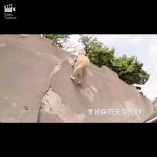 running dog!跑酷狗帅呆了😍#宠物##跑酷##健身日记#