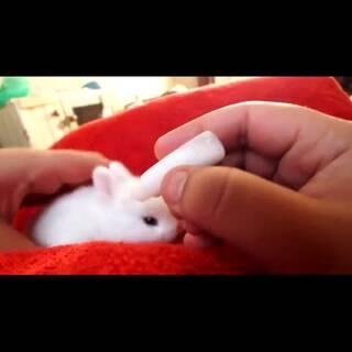 #宠物##吃货#萌炸了!给初生两周的小兔子喂奶!💘💘 #独特萌宠#