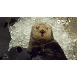 #在韩国超火的视频#146 吃冰块后来了脑结冰的水獭。大家应该也都有过这种经验吧😝#可爱##我要上热门#@美拍小助手