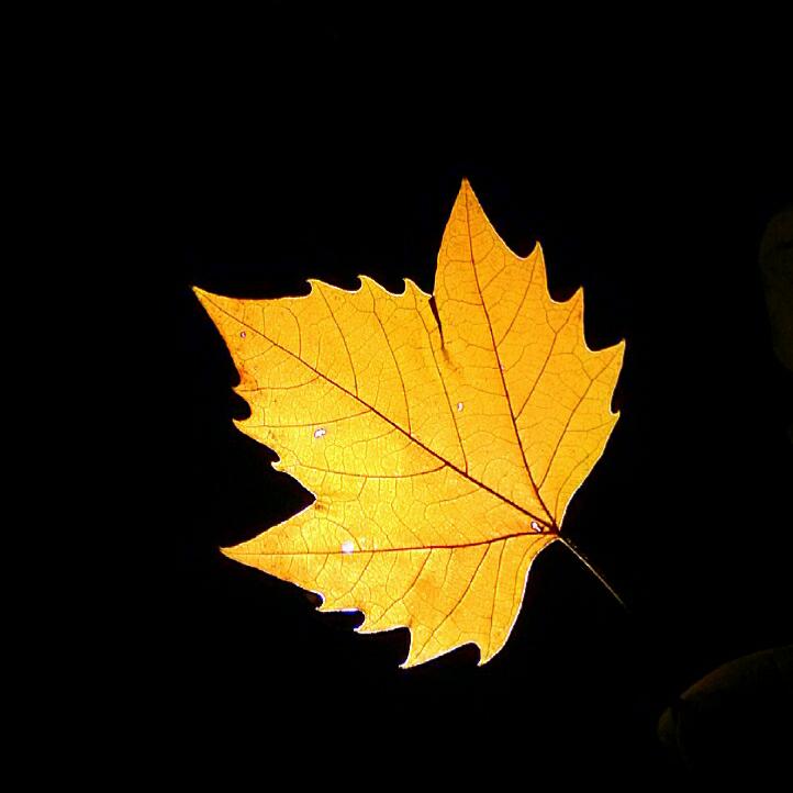 这是梧桐树的叶子,尽管枯黄但脉络依旧清晰.