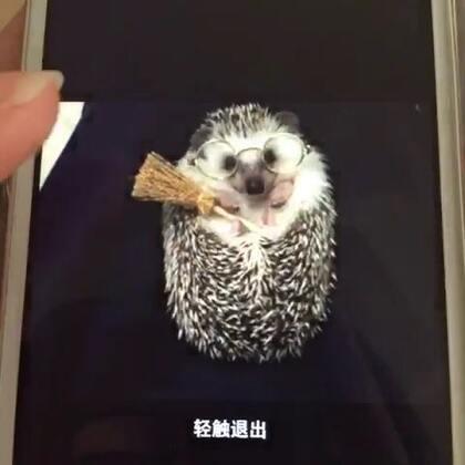 #非洲迷你刺猬##宠物#好多可爱的小视频都发在微信上了😢不能转出来 只能这样录了给大家分享😩希望大家喜欢Oreo啦😋