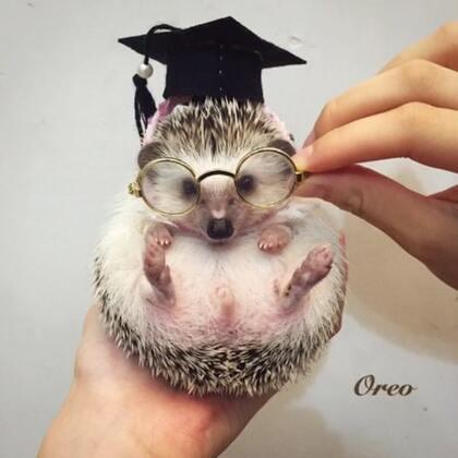 #非洲迷你刺猬##宠物##毕业季#我们从幼稚园毕业啦🎓这些是我的毕业照嘻嘻📷我们9.1四个月大了嘻嘻😚