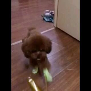 #宠物#霸气的太空步哈哈#太空步##狗狗穿鞋#请忽略布爸猥琐的笑声😓