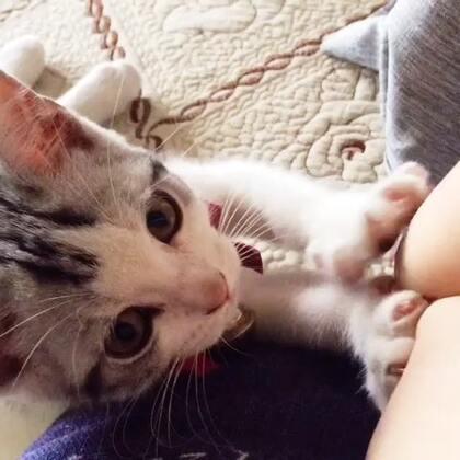 #宠物技能大赛##宠物猫# 这么认真的按摩工,我都不好意思不给小费