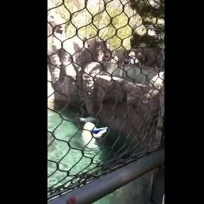 """#宠物#网友拍到北极熊超可爱的一幕,帮游客捡掉水里的飞盘,""""愚蠢的人类,下次再掉下来我可不帮你捡了啊!!!""""😂😂😂"""