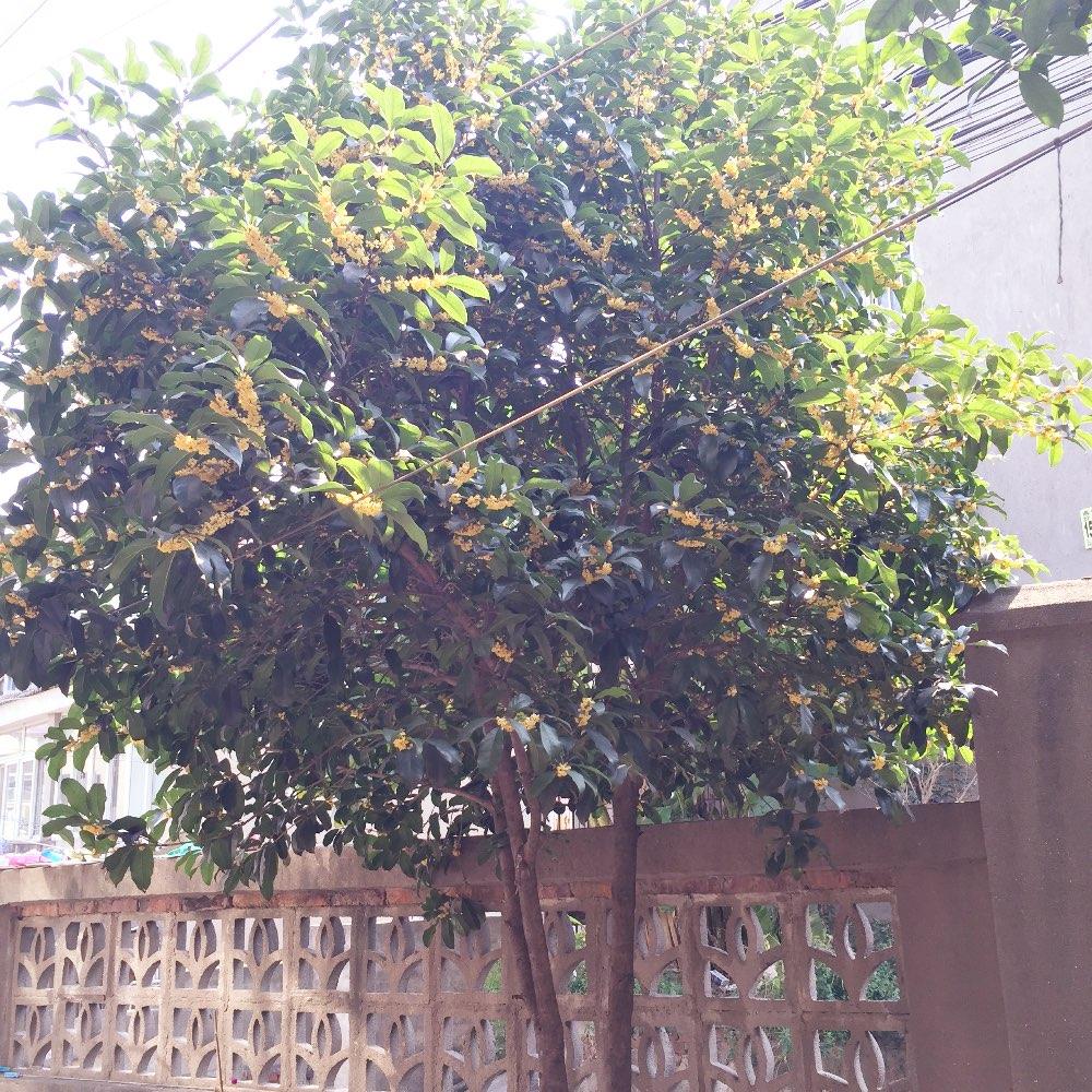 我家门前的桂花树!