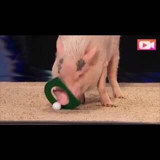 #逗比时光#以后不要再骂猪脑子啦!猪也是有智商的!
