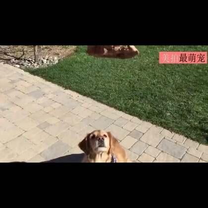#宠物##搞笑#网友家有只蠢狗,他可以完美的避过所有的食物。。😂😂😂