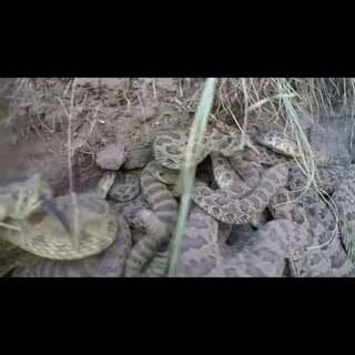 一名男子利用无人机拍摄野外的响尾蛇洞穴。想不到拍摄过程中,摄影机不慎被响尾蛇攻击而掉入蛇穴!好凶猛的响尾蛇!这位老兄说,他最后拿着曲棍球杆把摄影机勾回来的时候,上面还有响尾蛇的毒液呢!😱 #响尾蛇##无人机#