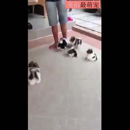 #宠物#像一群会走路的棉拖鞋,好想被这么跟着😍😍💘