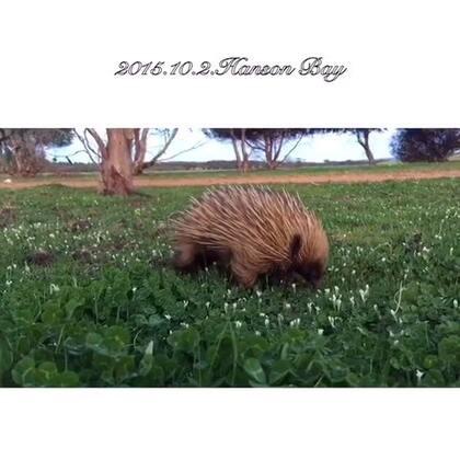 #旅行##澳洲#袋鼠岛Hanson Bay的夜间巡游 从袋鼠岛特有的kangaroo开始 还探寻了针鼹的捕蚁(刨土)过程、wallaby以及其幼崽的晚餐过程、考拉和负鼠的夜间活动…各种澳洲特有的有袋类动物 夜晚的袋鼠岛无比热闹!