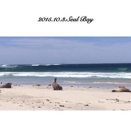 #旅行#袋鼠岛Seal Bay-澳大利亚海狮妈妈和海狮宝宝的家 夏季正是海狮妈妈的育婴时期 澳大利亚海狮现仅存12k只左右 他们每次出海捕食会持续三天 回到岸上主要是休息恢复体力 澳洲海狮最长可以活12岁 6岁以后可以繁殖下一代 一般需要哺育小海狮一年半的时间 海狮需要在类似荒芜沙漠的南海岸捕食很不容易