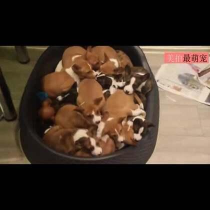 #宠物#网友家的狗狗一次生了16个宝宝,太幸福了,每天得铲多少屎啊😂😂