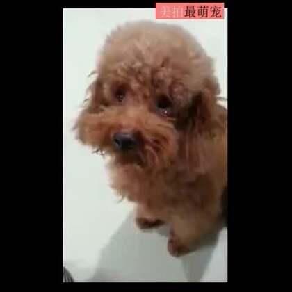 #宠物#台湾网友家的泰迪,偷吃槟榔被主人骂哭了。😀