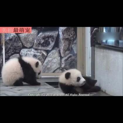 #宠物#熊猫这种生物一定是靠卖萌才成为国宝的。。😂😂