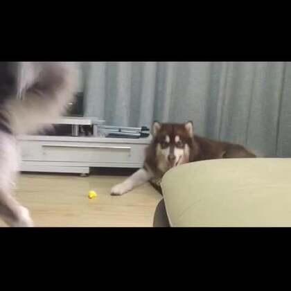 #宠物#2015年度最屌训狗教学视频,哈哈哈哈,主人吃药了吗?😂😂