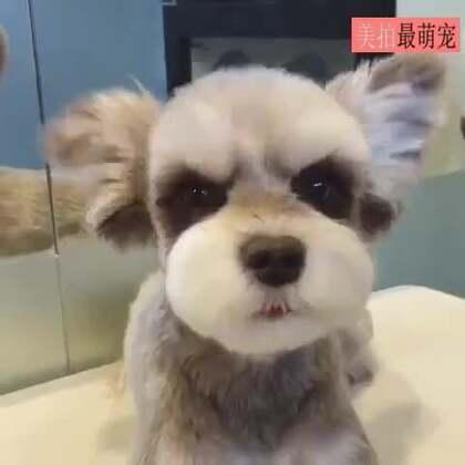 #宠物#好耿直的一张脸,被这只雪纳瑞萌到了~😍