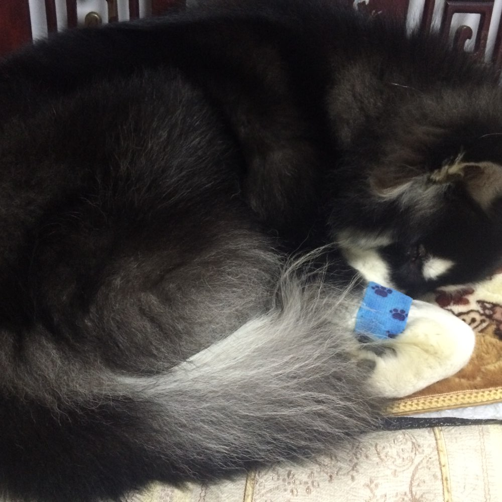 宝宝要睡觉觉了#阿拉斯加雪橇犬#