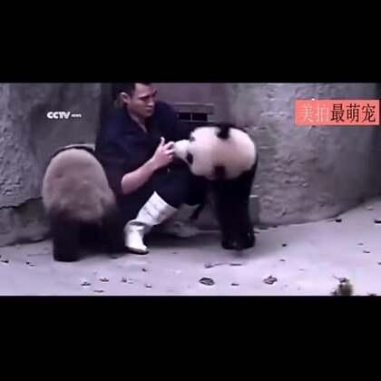 #宠物#饲养员喂熊猫宝宝吃药的完整版,俩小家伙为了逃避吃药还形成攻守同盟了......根据51秒左右的画面不难判断,饲养员也是位公主呢...😂