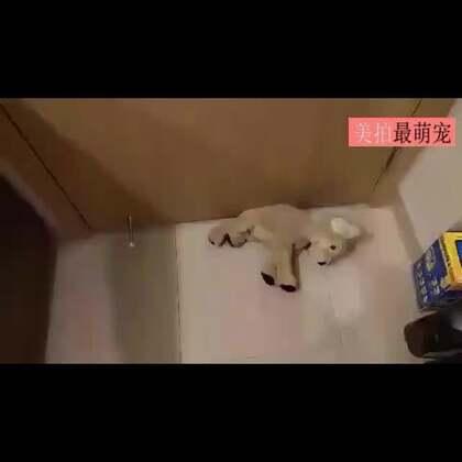 #宠物#娃娃贼被逮了个现行,心疼,好好一个娃娃快被薅成饼了……😂
