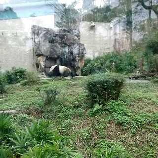 胖达#熊猫##台北木栅动物园