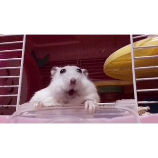 #仓鼠##宠物# 哈哈哈哈哈哈哈哈哈哈哈哈配音累死我了😂 白富美吧唧嘴可爱的😂(眼睛天生凸不是上火,瓜子花生半年多没有喂过!不要再说🙅)