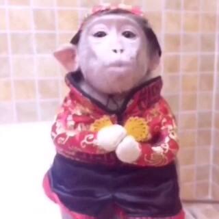 悟空给美拍的朋友们拜年啦 祝大家在2016年猴年顺心如意 猴年大吉大利、恭喜恭喜发财😚#宠物##美拍大头电影##全民大拜年#