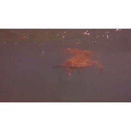 #旅行##大堡礁##圣灵群岛##海龟#在圣灵群岛cove beach浮潜时意外遇到海龟,原谅我这不及格的浮潜技术和海里摄影技术,眼睁睁的看着海龟飞驰而去……
