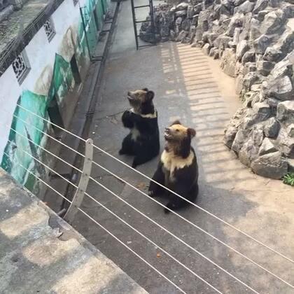 """#熊出没#人类已无法阻挡这两只成精的熊🐻。""""恭喜恭喜""""太可爱了。话外音:虽然动物可爱,但请不要给动物乱投食物!😊"""