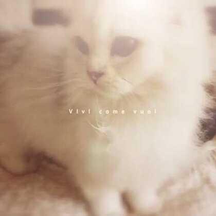 #宠物#又一个惬意的午后~家里来了新成员小仙女phia,英国长毛猫~