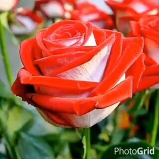 #裹被子跳枕头##随手美拍#好漂亮的花呀🌹送给朋友们👬
