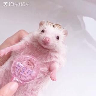 #我的宠物萌萌哒##萌宠##非洲迷你刺猬#Mandy经过怀孕-生产-哺乳,今天终于解放了,给她洗洗澡做个按摩。当妈不容易呀,你今天舒服了吗☺,Mandy还有两只宝宝没有被订,可以加微信:cixingqiu2进行咨询哦