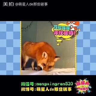 宠物##搞笑##我要上热门##狐狸##疯狂动物城#@宠物频道官方账号