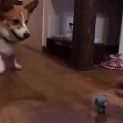 #宠物#日本网友家的柯基Fuku特别喜欢跟主人玩你丢我捡的游戏,只要主人做出准备扔球的动作,Fuku就按捺不住心中的兴奋和激动,开始猛跺小短腿![哈哈]这是有多着急!😂
