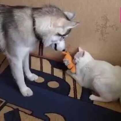 #宠物#哈士奇拼命抢猫咪的玩具,这是我见过脾气最好的猫咪了。😂