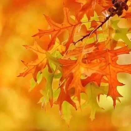 #旅行##澳洲##旅画映像##秋天#季节念起咒语,风点燃了枝头的火焰,向远处弥漫