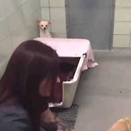 #宠物#美国一个动物保护协会,收容了一只被抛弃的吉娃娃。他们发现这是一只刚生完宝宝的狗妈妈,它失去了自己的宝宝,然后又被抛弃,情绪特别不稳定,一直躲在角落不肯出来,于是工作人员们为狗妈妈做了一件事。。。一个充满爱的故事!💘