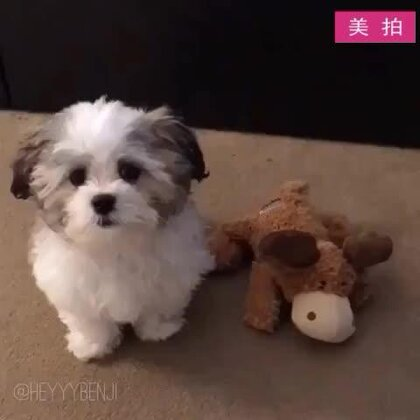 """#宠物#主人问狗狗:""""谁是你的好朋友?""""狗狗一直选择了它的牛玩偶,然而随着选项的变多,最终它选择了…😂"""