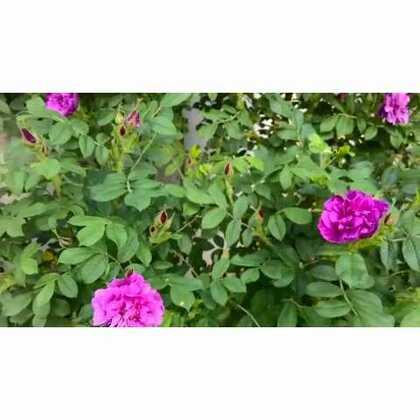 春丛玫瑰香满园(此玫瑰非月季)