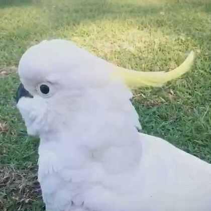 #美拍大师##随手美拍##旅行##悉尼#澳洲有很多很多的野生葵花凤头鹦鹉,却第一次遇到这么胆儿大的!