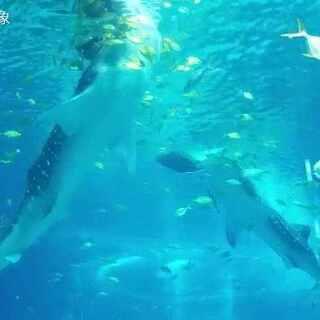#凯德来了#阿凯阿德带你去看世界上最大的鱼类:鲸鲨!