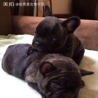 宿醉小狗不肯醒来。😪💤Hangover puppy refuses to wake up #汪星人逆袭##宠物##宿醉#